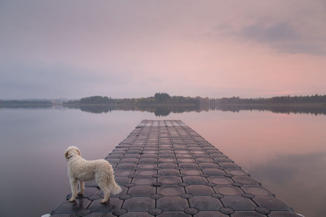 photograph of a dog standing on a dock on a lake with trees ion the horizon